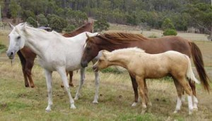 This colt (unrelated to this mare or stallion) learns polite behaviour by shadowing the herd stallion.