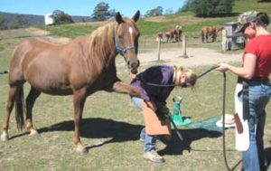 Regular trimming is vital to keep laminitis prone horses and ponies from progressing to laminitis or founder.