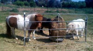 Ponies prefer their haynet - the barrier can help larger groups to share.
