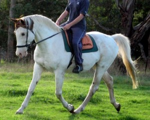 The stallion, Anawa Mahushka was ridden bitless for his training and wherever it was allowed.
