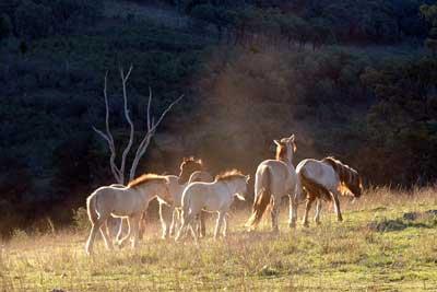 HPmares-&-foals