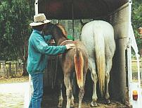 Establishing confidence in loading at an early age sets a horse up for life.