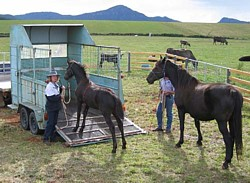 Early introduction to a trailer in the right way will set a horse up for loading better.