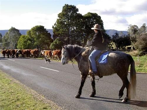 Bluey&Karen&cattle