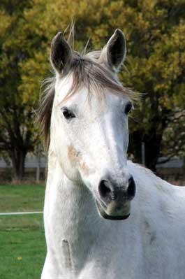Clover Turns Gelding into Stallion – by Vanessa Smith