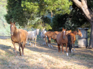 A nice big shade tree can accommodate the whole herd.