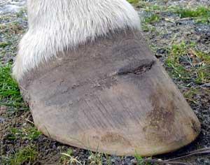 Hoof Abscess - when being 'kind' is cruel - Natural Horse World