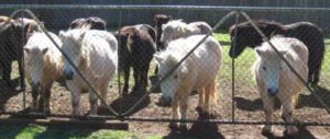 Forage is essential when horses or ponies are confined to small areas.