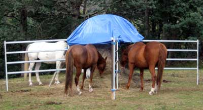 These horses have their own section to eat from which can help when first feeding a group on a round bale.