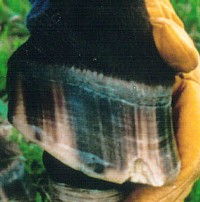 A hoof treated for seedy toe by removing the damaged hoof wall.