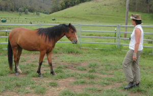 Having the horse be able to generalise its Cat experience is the final step in the Cat methodology. Once the horse knows it can control the things if fears and in this case it was people as Dorado is a wild caught brumby who had a heightened fear response when people approached. Cat gives the horse the ability to think about the fear object and to evaluate is it real danger. As the chemical pathways of the brain change the horse begins to like the thing it feared and will approach of its own choice. Once switchover was solid it was then time to introduce different people to Dorado. The Cat process starts again and here Kay, a new person in Dorado's life is stepping back once Dorado gave a relaxed signal, in this case it was chewing. It would take several sessions of Kay stepping back when Dorado gave a relaxed signal before Dorado would move to switch over behaviour.  This photo shows the critical stage of generalisation that helps the horse apply the new skills it has learnt in new environments and new people.