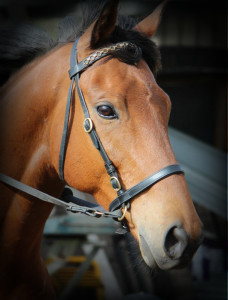 The LightRider Bitless Noseband with the chinstrap in action.