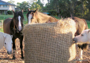 Happy ponies with their 6cm Round Bale Haysaver Net.