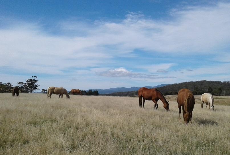 Pasture Grazing Herd