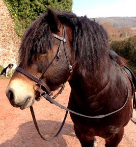 Exmoor stallion Bear wearing his LightRider English bitless bridle.